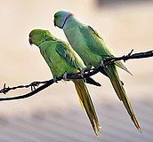 Rose-ringed Parakeets (Male & Female)- During Foreplay at Hodal I Picture 0034.jpg