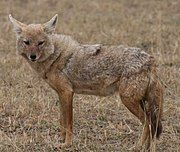 Gray and brown canine in grass