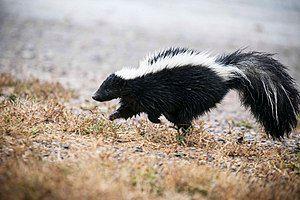 Striped skunk, close (21303507080).jpg