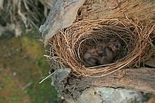 Looking down on three helpless blind chicks in a nest within the hollow of a dead tree trunk