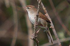 37-090505-cettis-warbler-at-Kalloni-east-river.jpg