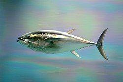 Pacific bluefin tuna.jpg