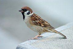 Tree Sparrow Japan Flip.jpg