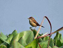 Paddyfield Warbler (Acrocephalus agricola) in Kolkata Im IMG 0496.jpg