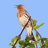 Red-throated Pipit.jpg