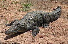 Bazoule sacred crocodiles MS 6709cropped.JPG
