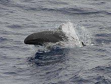 False killer whale 890002.jpg