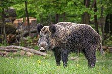 Wildschwein, Nähe Pulverstampftor.jpg