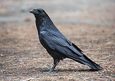 Corvus corax (Common Raven), Yosemite NP, CA, US - Diliff.jpg