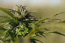 Hampa Cannabis sativa L. (närbild).jpg
