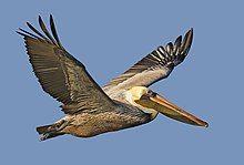 Brown pelican - natures pics.jpg