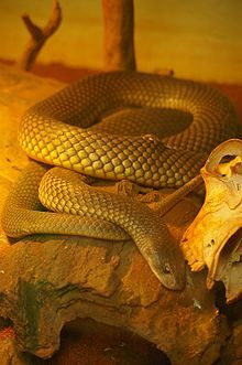 A thick-set brownish snake in a rocky area in a zoo