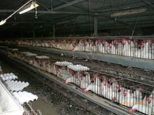 Two rows of cages in a dark barn with many white chickens in each cage