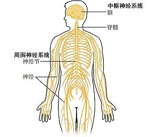 1201 Overview of Nervous System zh.jpg