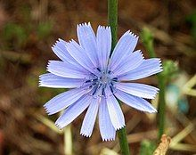 Closeup photograph of blue chicory flower