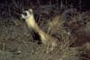 Black-footed ferret.png