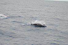 Porpoising strap-tooth beaked whale.jpg