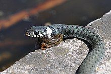 Close-up view of snake eating a newt