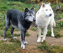 Photograph showing one black and one white wolf standing alongside each other