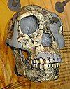 KNM-ER 1813 skull.jpg
