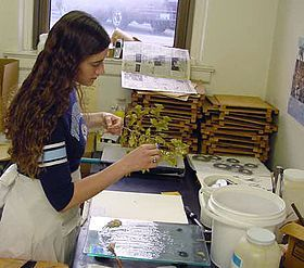 photograph of a botanist preparing plant specimens for the herbarium