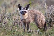 Brown fox with large ears