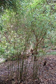 Fargesia dracocephala - Trebah Garden - Cornwall, England - DSC01421.jpg