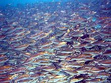 Photo of thousands of fish separated from each other by distances of 2 inches (51mm) or less