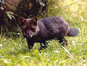 Small dark canine in grass