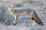 Brown and gray fox in the grass