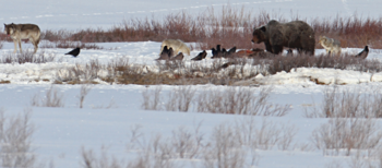 Photograph of a wolf, a bear, coyotes and ravens competing over a kill
