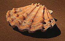 Nodipectensubnodosus.jpg