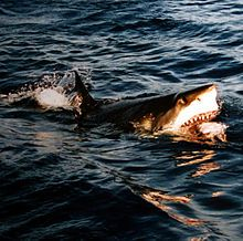 Photo of great white on surface with open jaws revealing meal.