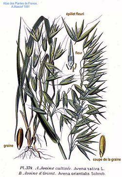 374 Avena sativa L., A. orientalis Schreb.jpg