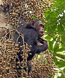 Common chimpanzee (Pan troglodytes schweinfurthii) feeding.jpg