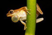 Male treefrog calling