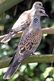 European Turtle Dove (Streptopelia turtur).jpg