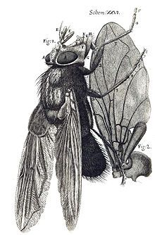 A drawing of a fly from facing up, with wing detail