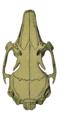 O. c. brachyotus skull (dorsal).png