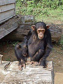 South Djoum Chimp.jpg
