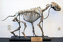 Cave hyaena skeleton, head-on slightly angled view, in a walking position