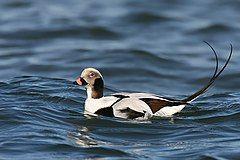 Long-tailed-duck.jpg