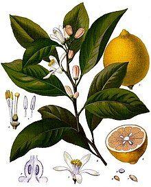 Citrus x limon - Köhler–s Medizinal-Pflanzen-041.jpg