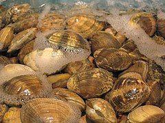 帘蛤科的文蛤