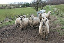 Sheep with thick, stringy wool in a field.