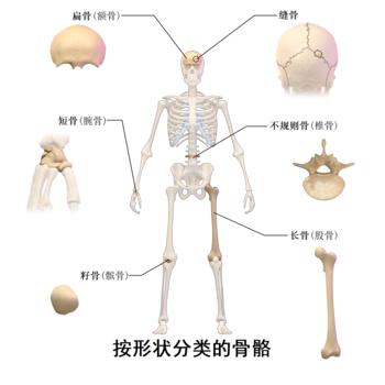 骨骼形态的分类