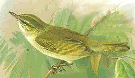 Phylloscopus coronatus.jpg