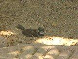 File:House Sparrow dust bath.ogv