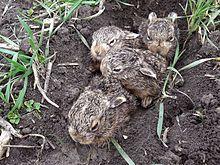 Photograph of newborn hares