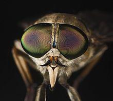 Tabanus sudeticus MHNT Portrait.jpg